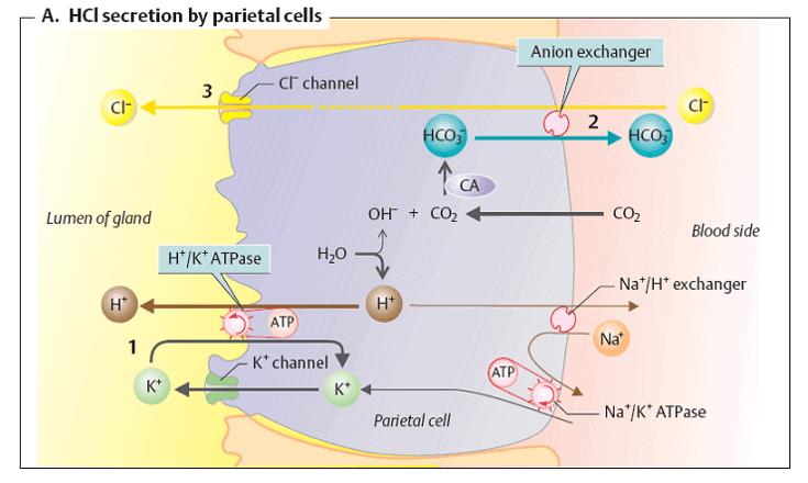 secretie-acid-clorhidric