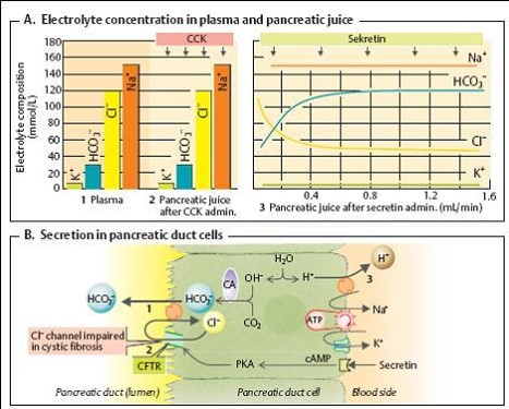secretie-suc-pancreatic